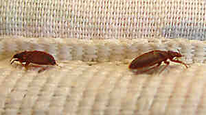 Modern bedbugs are increasingly resistant to pesticides. Some populations, in fact, can survive 1,000 times the amount of pesticide that would be needed to kill a non-pesticide-resistant population.
