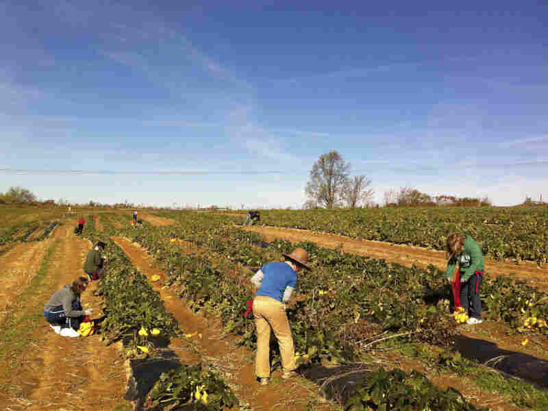 Volunteer gleaners pick squash at Jackson Farms in Pikeville, Tenn.