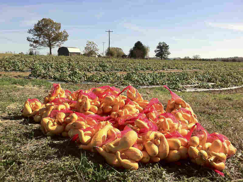 Volunteers gleaned 350 pounds of squash from Jackson Farms in Pikeville, Tenn.