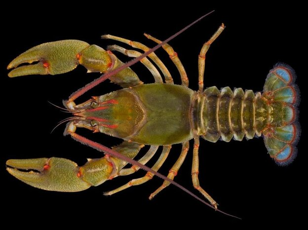 Barbicambarus simmonsi. The newly discovered, quite large, crayfish.