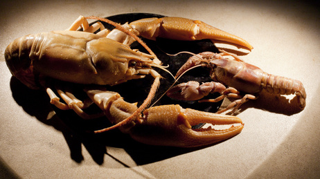 The new species, Barbicambarus simmonsi (left) is more than twice the size of typical crayfish found in the same creek.
