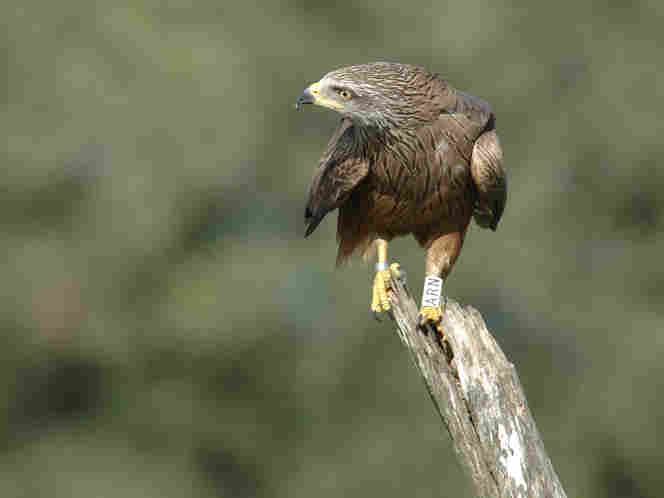 An eight-year-old black kite watches an intruding individual from its perch. Since the 1980s, researchers have been tagging birds in a population to track them through their life spans.