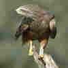 Elaborate Nest Decorations Show Bird's Vitality