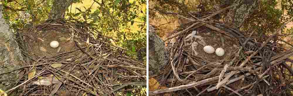 The nest of a young, three-year-old black kite (left) shows no decorations. Most breeding kites at this age don't decorate and exhibit poor reproductive performance. During the last years of life, nest decorations lower, as is the case with the nest of a 22-year-old black kite (right).