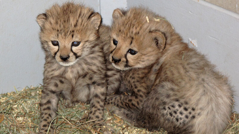 4 Pounds Of Fury Baby Cheetah Gets A Foster Mom Npr
