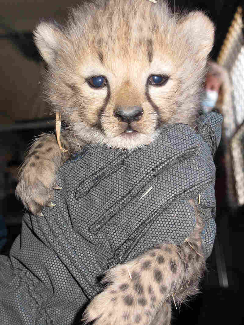 A baby cheetah, a little over a month old, gets its daily weigh-in.