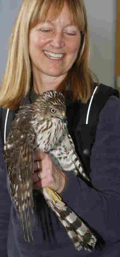 Linda Moore, vice president of the Raptor Conservancy of Virginia holds the Cooper's Hawk after its capture.