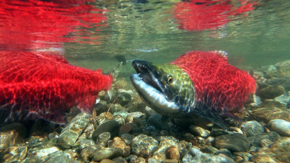 President Obama's joke notwithstanding, a Commerce Department agency has the prime responsibility to protect  salmon when they're in the ocean and when they swim upriver to spawn.
