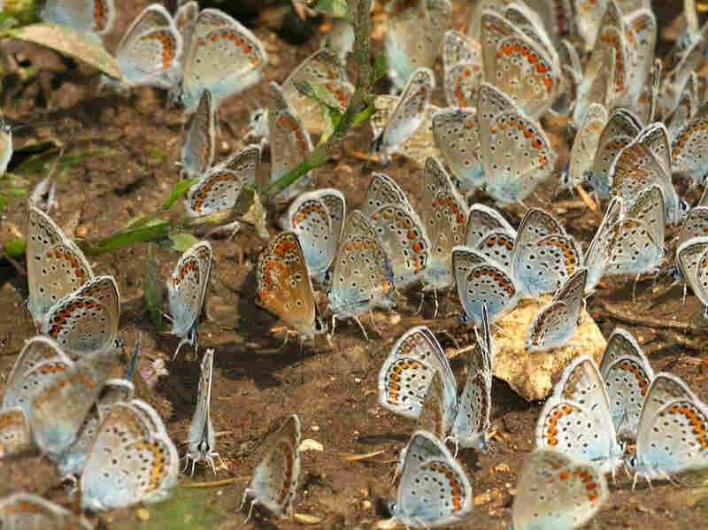 A group of Polyommatus blue butterflies gathering on humid soil.  Prof. Pierce and her colleagues used modern DNA testing to confirm Nabokov's theories about how these butterflies got to South America.
