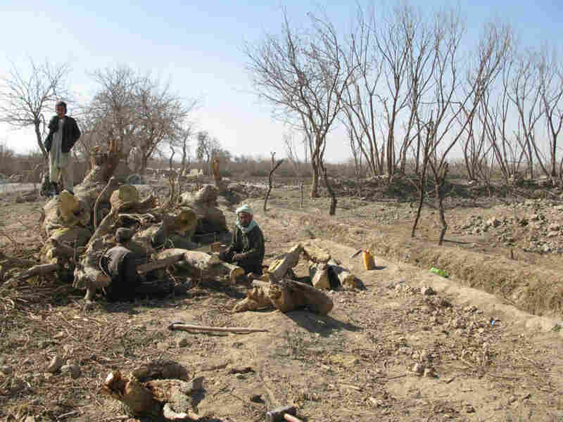 Villagers cut up a mulberry tree for firewood after the U.S. Army bombarded  and bulldozed a section of their orchard.  The Army says there were so many  landmines in this part of Arghandab that they had to use air strikes to clear  it.