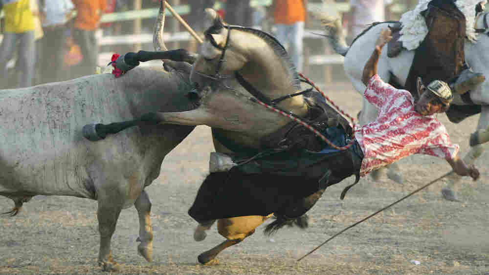 A horseman falls from a horse, after being gored by a bull during the 2007 Corralejas Bull Festival in Sincelejo, Colombia.