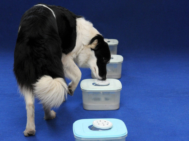 Barnabas Honeczy/AP-Panda, a Border Collie sniffer dog, checks out samples at the Dogs Against Cancer and For Life Foundation in Hungary.
