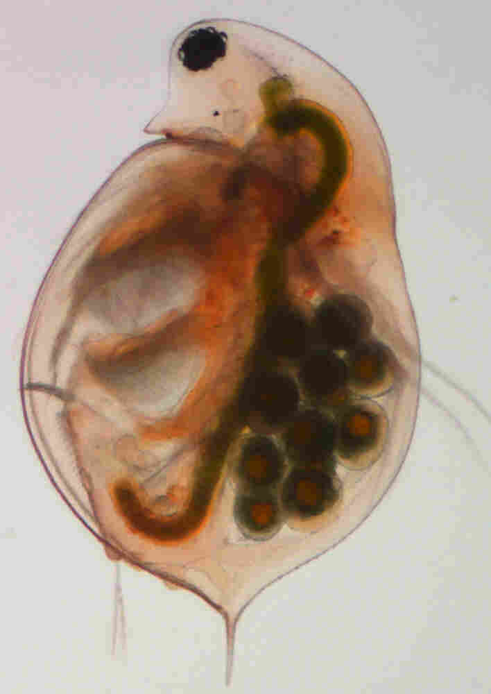 Daphnia are crustacea the size of a grain of rice. The transparent creatures have about 31,000 genes — the most of any animal studied to date. Humans, by comparison, have about 23,000 genes.