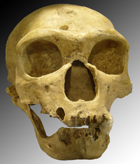A Neanderthal skull discovered in 1908 at La Chapelle-aux-Saints, France.