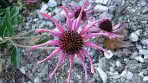 The Tennessee coneflower is listed under the U.S. Endangered Species Act. A hybrid version of the plant, a cross between the Tennessee coneflower and the purple coneflower, was created in 2003. But experts warn that the new plant could pose a significant risk if it encroaches on the historical range of the Tennessee coneflower.