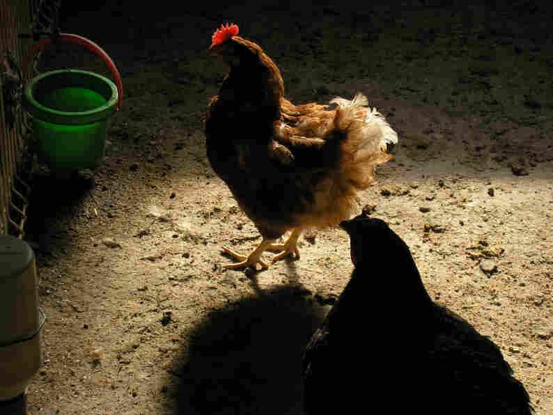 Hen in a farmyard