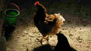 Hen in a farmyard