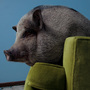 Daisy Mae, a miniature Vietnamese potbellied pig, lounges on a couch in West St. Paul, Minn.