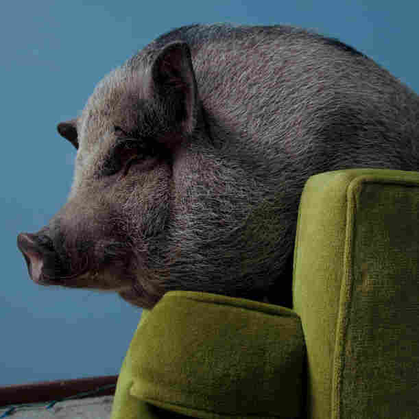 How About A Pot-Bellied Pig For A Pet? Why And How We Domesticate Animals