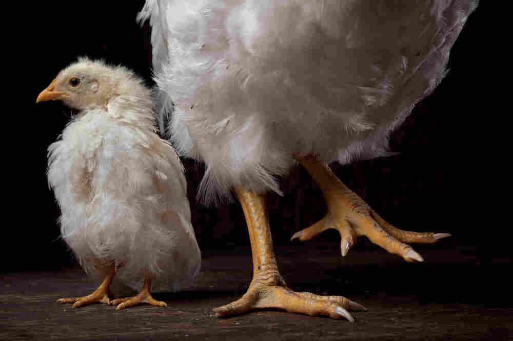Two chickens, both eight weeks old but vastly different in weight, show off size-based breeding by geneticist Paul Siegel at Virginia Tech.