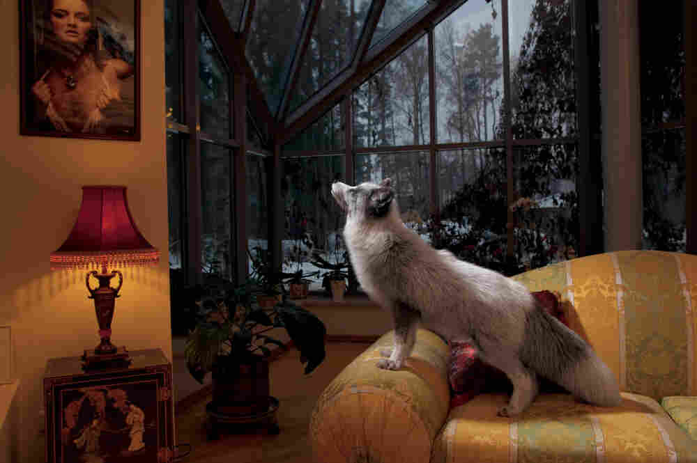 Alisa is one of two foxes living as pets in a wealthy home outside of St. Petersburg in Russia. She is friendly with her human companions and with the family's dog, too.