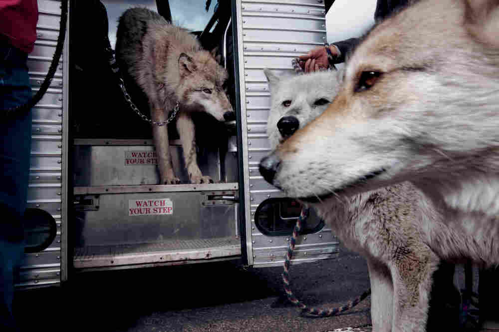 Two wolves and a wolf-dog hybrid (foreground), traveling ambassadors for a sanctuary for captive-born wolves, illustrate the genetic starting point for all dog breeds.