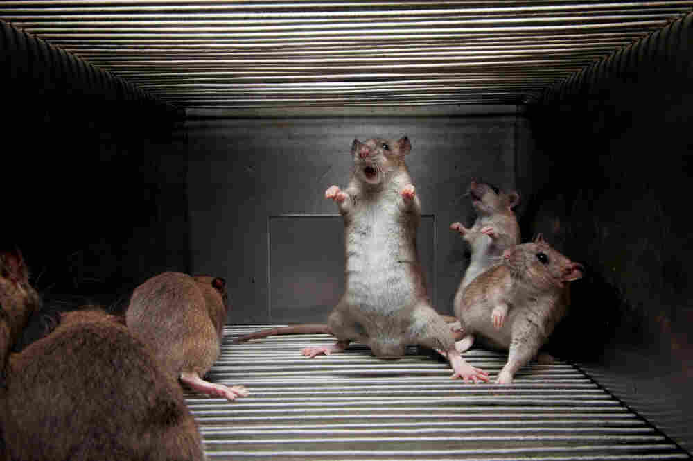 Scientists are studying the aggressive rat genome, attempting to untangle connections between DNA and behavior. This brown rat's angry display at the photographer reflects 73  generations of breeding for hostility to humans.