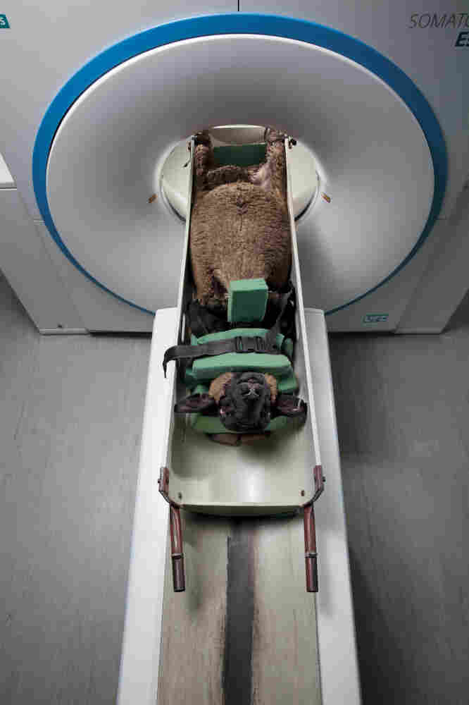 """Farmers bring their sheep to the Scottish Agricultural College in Edinburgh, Scotland, where a CT scanner analyzes the """"carcass quality"""" of live animals, so the best can be selected for breeding."""