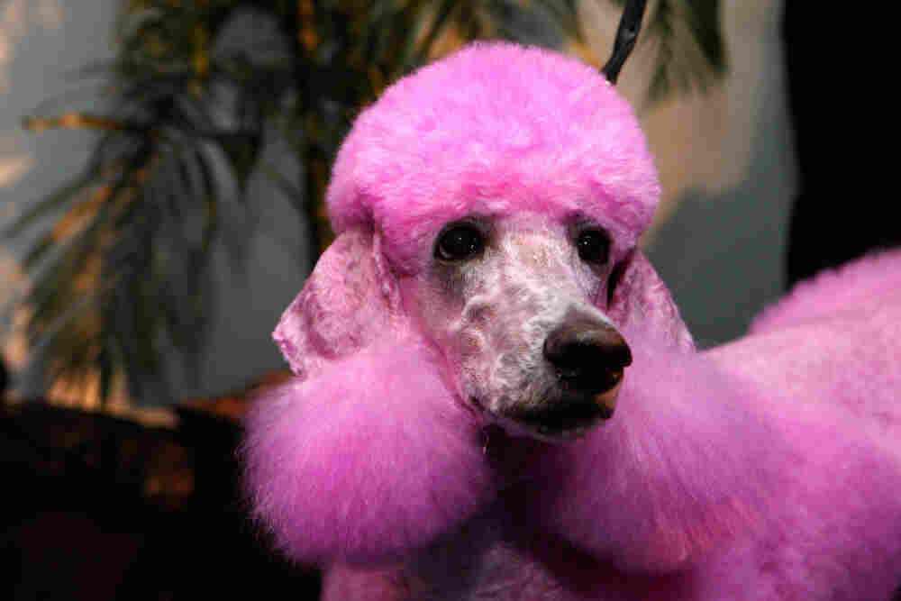 A poodle backstage at the Isaac Mizrahi Fall 2011 runway show at Mercedes-Benz Fashion Week.