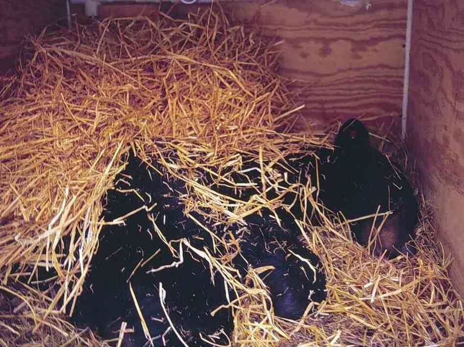 Researchers studied a bear, like this one, in an artificial den called a hibernaculum.