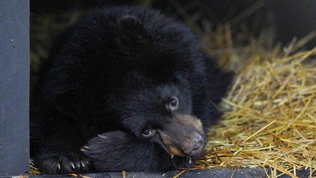 An American black bear from the Kenai Peninsula in Alaska. A new study found that a bear's metabolism in hibernation drops by nearly 75 percent while its body temperature falls just slightly.