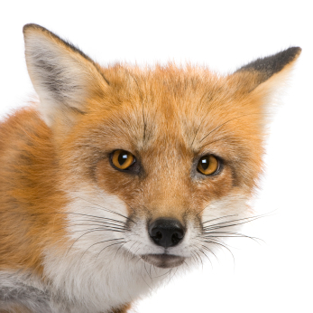 Some 16,000 years ago, people may have been curling up next to the fire with red foxes.