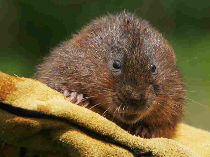 The water vole — the inspiration for the character Ratty in Kenneth Grahame's The Wind in The Willows — has almost disappeared in Britain, thanks in large part to minks.