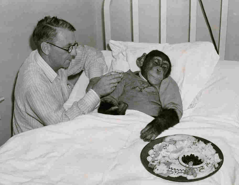 "Photo and caption originally published in Aug. 1940: ""Baboo Wins a Fight for Life Against Double Pneumonia. When the animal was stricken last April he was taken to Victoria Hospital, Miami, Fla., by his owner, Edward Strassburg. Three-year-old Baboo received the same oxygen-tent treatment as humans. In two weeks he was pronounced cured."""