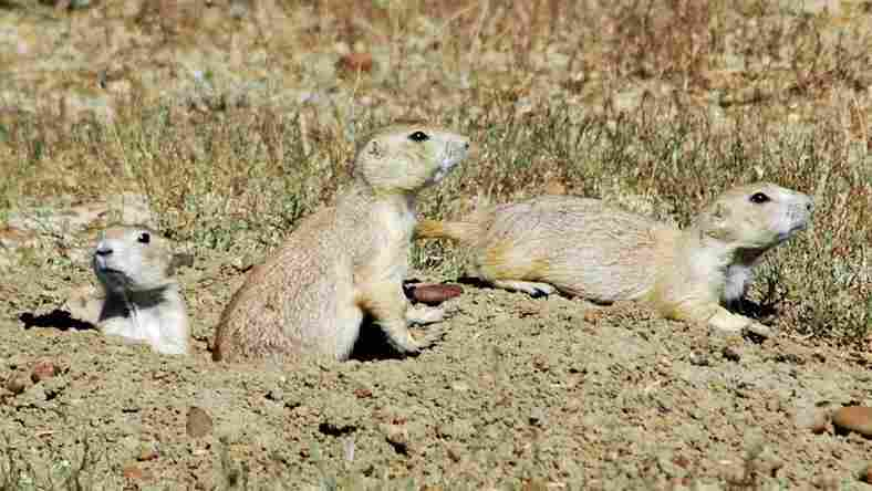 Researchers found that as groups of black-tailed prairie dogs and other rodents became larger, it also became easier to identify individuals.