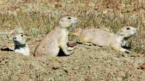Researchers found that as groups of black-tailed prairie dogs and other rodents became larger, it also