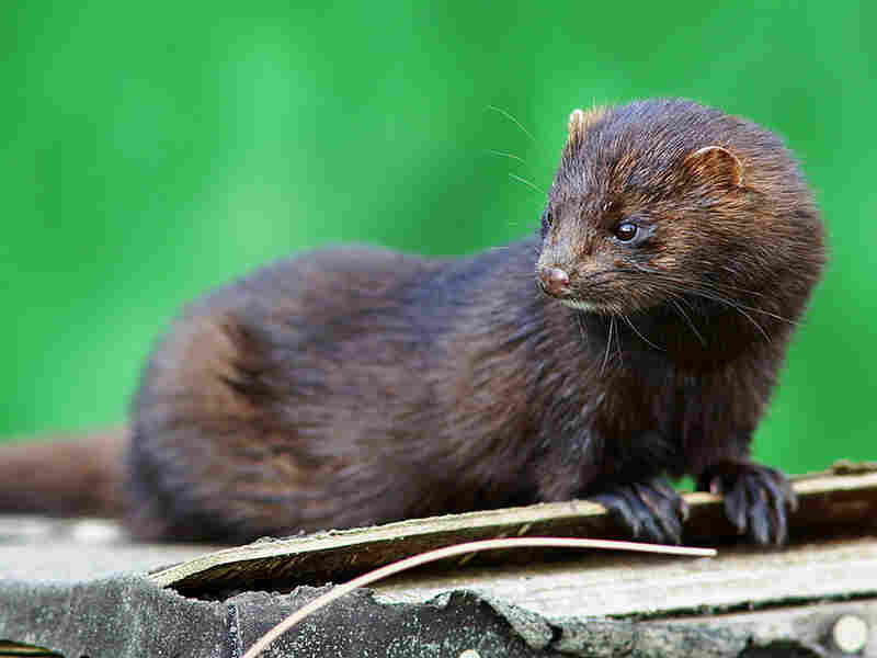 The American mink — seen here at the  British Wildlife Center in Surrey, England, in September — was first brought to Britain back in the 1950s to be farmed for fur coats.