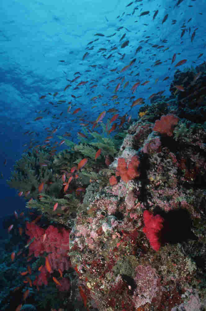 Abundant sea life with hard and soft corals grows on a coral reef in the Indonesia-Pacific region.