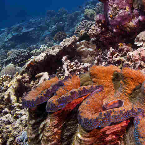 A giant clam and healthy coral reef on the east side of Palau. The coral reefs of Palau are part of a massive interconnected system that ties together Micronesia and the Western Pacific.