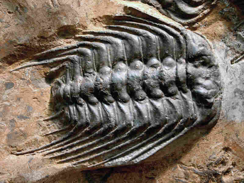 Trilobites were once in abundance in Earth's oceans.