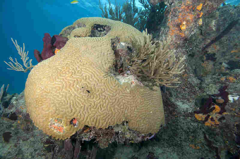 Healthy brain coral at the Exuma Cays Land and Sea Park in the Bahamas.