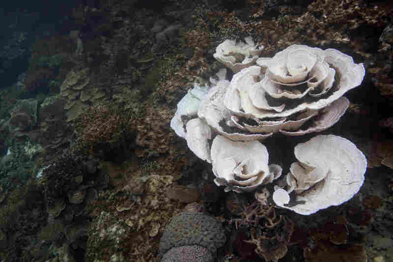 Bleached coral along the reef at the Nikko Bay monitoring site, Rock Islands, Palau.