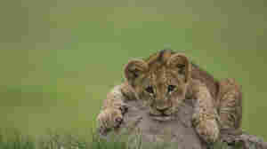 Without intervention, male cubs like the one pictured here will likely go extinct within the next several decades.