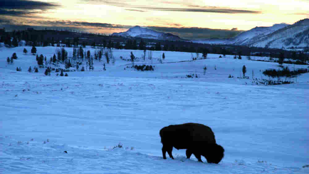 A solitary bison in Yellowstone National Park.