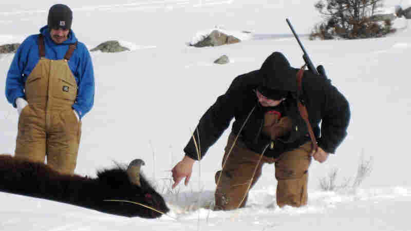 Hunter Francis Marsh reaches out to touch the bison he has shot to see if it is still alive.