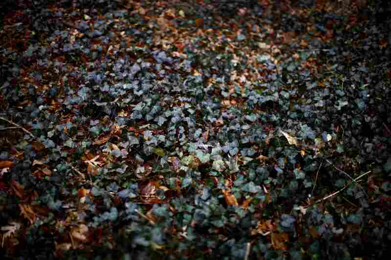 English ivy blankets the ground in Whitehaven Park. Last year, the Oregon Department of Agriculture banned the sale of English ivy in the state in an effort to limit the spread of the invasive plant.
