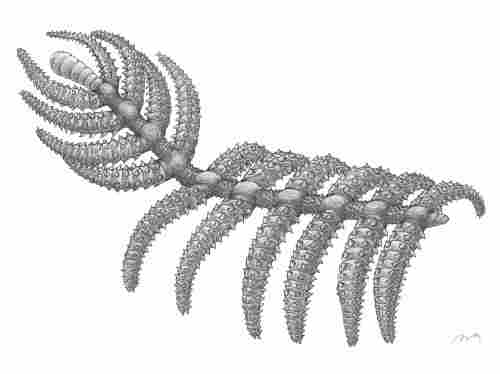 Reconstruction of Diania cactiformis.