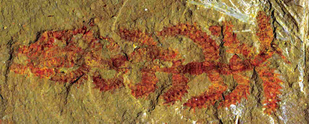 A fossil of Diania cactiformis.