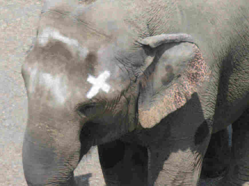 'Happy' the  elephant, touching mark on her head.