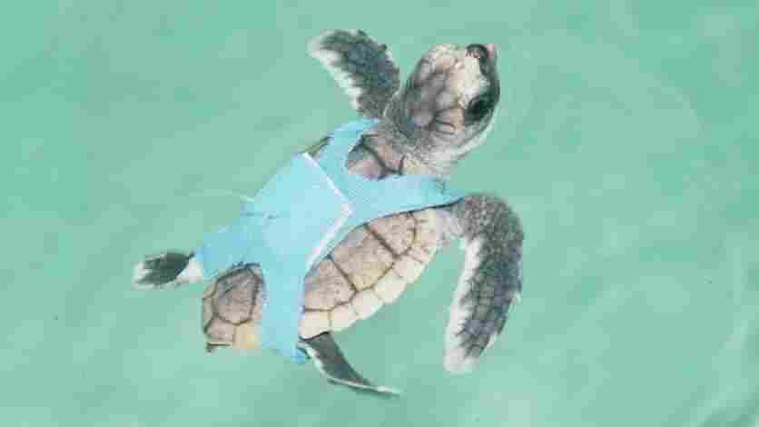 Researchers used hatchling loggerhead turtles, like this one wearing a special harness, to see how the turtles responded to changing magnetic fields as guides for migration.